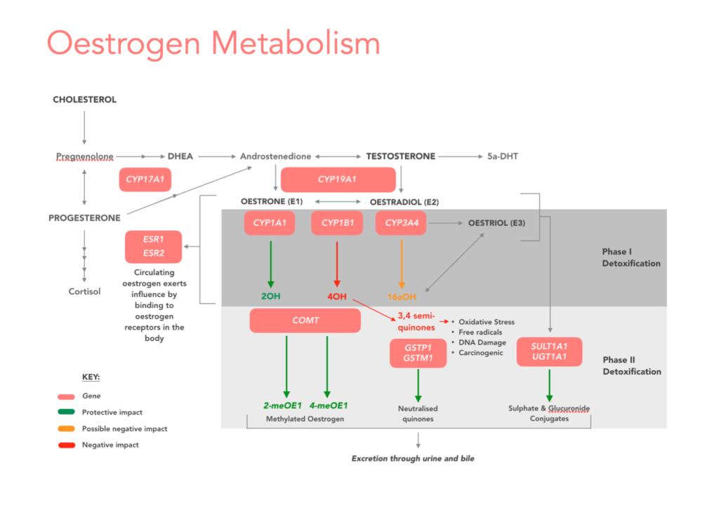 Oestrogen DNA pathways