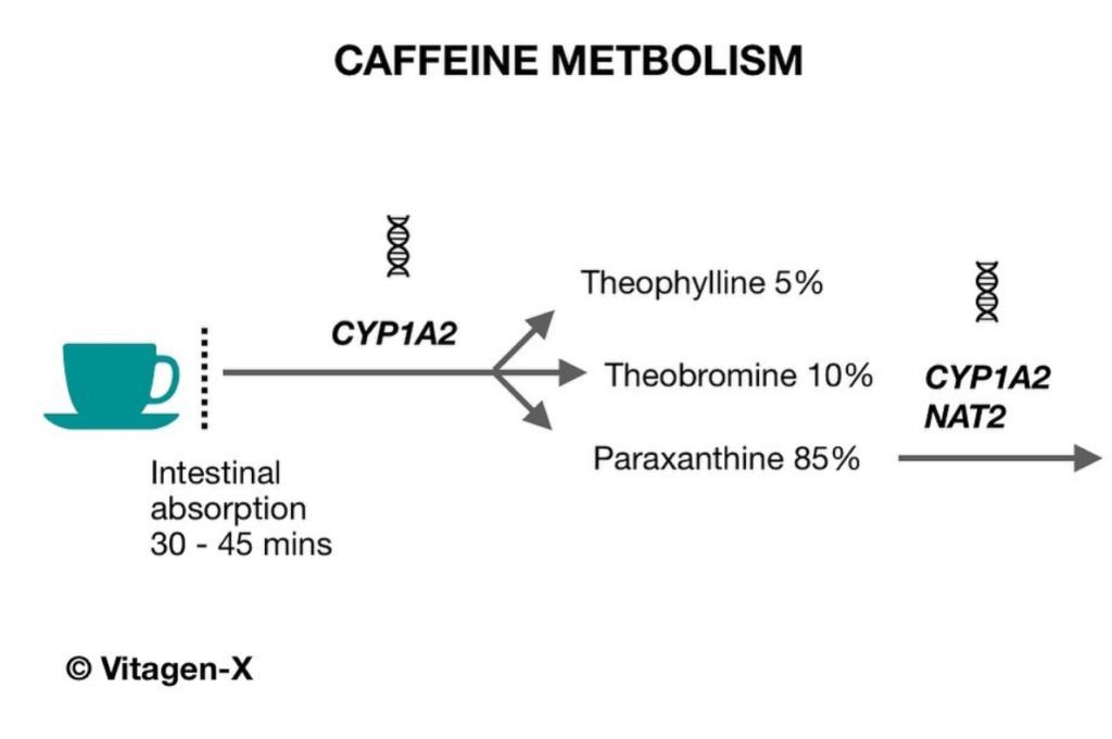 Caffeine metabolism diagram